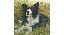 Single Border Collie cards